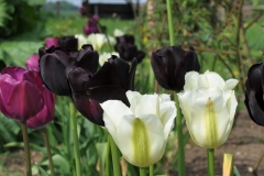Tulipa 'Purple Prince', 'Paul Scherer' og 'Spring Green'