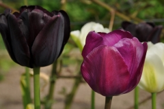 Tulipa 'Paul Scherer' og 'Purple Prince'