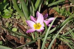 Tulipa Pulchella Humilis