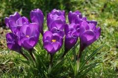 krokus_flower_record