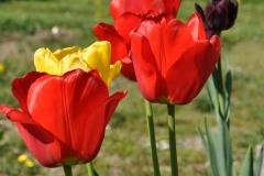 Tulipa 'Red Apeldoorn'