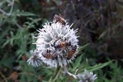 Echinops ritro 'White Globe'/Kugletidsel