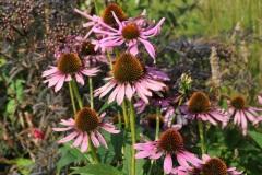 Echinacea 'Clio'/Purpursolhat