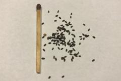 Frø af Anisisop/Agastache foeniculum