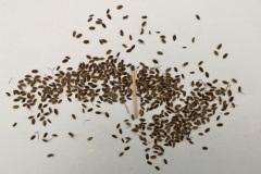 Frø af dild/Anethum graveolens