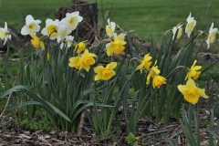 Narcissus 'Ice Follies' and 'Carlton'
