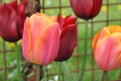 Tulipa 'Orange Emperor'