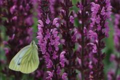 Salvia nemorosa 'Pink Beauty'