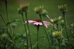 Echinacea 'Clio'