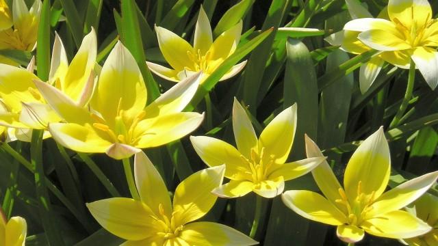 Tulipa Tarda Dasystemon