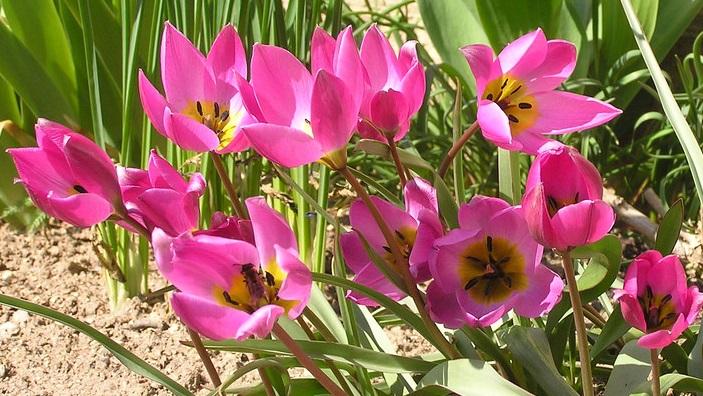 Tulipa Helene