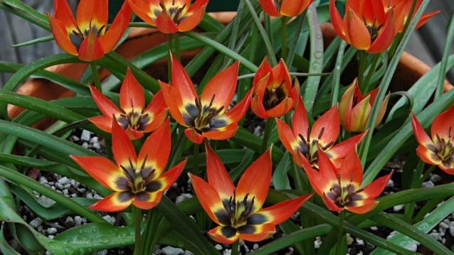 Tulipa Little Princess