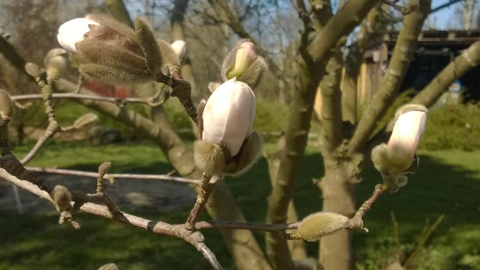 Mageloese_magnolie_04