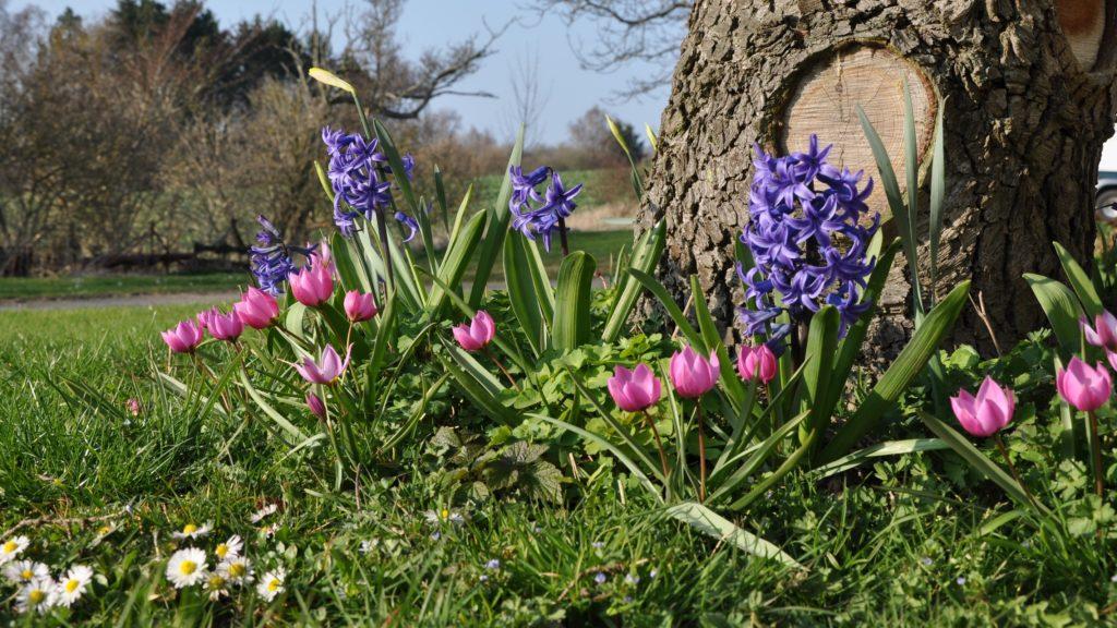 Helene, Pulchella Humilis og hyacint