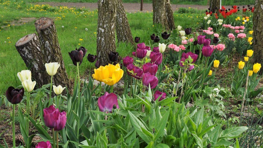Dejlige tulipaner