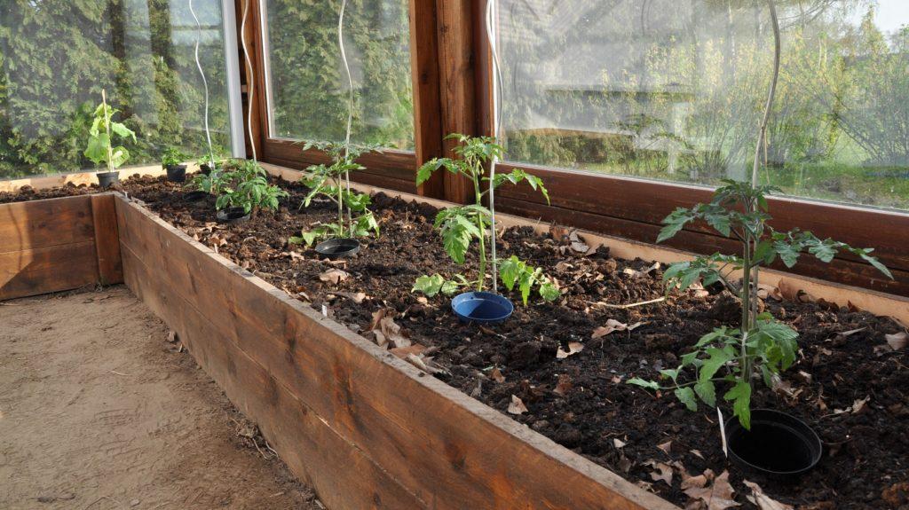 Tomater i drivhuset