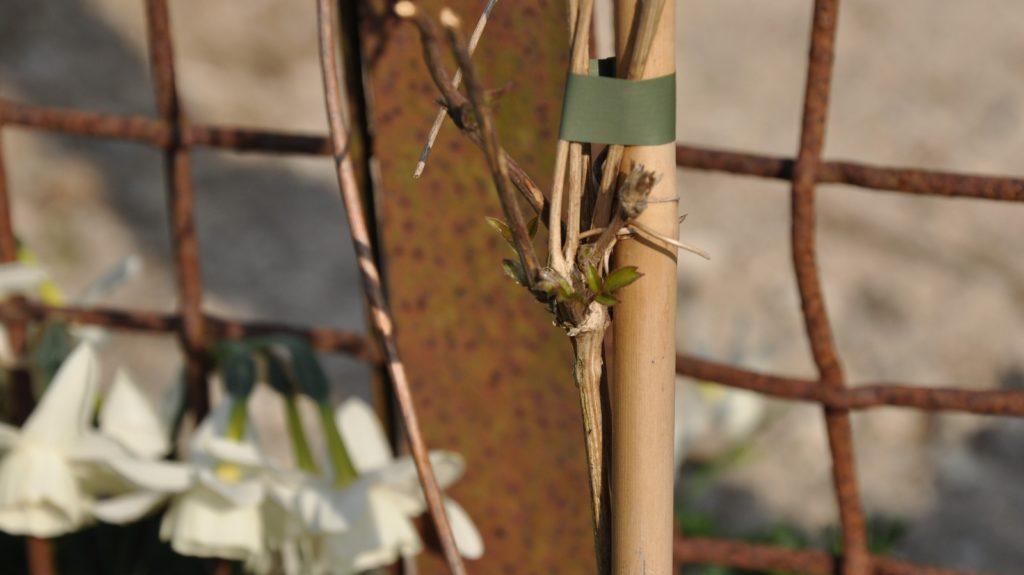 Klematis Montana 'Grandiflora'