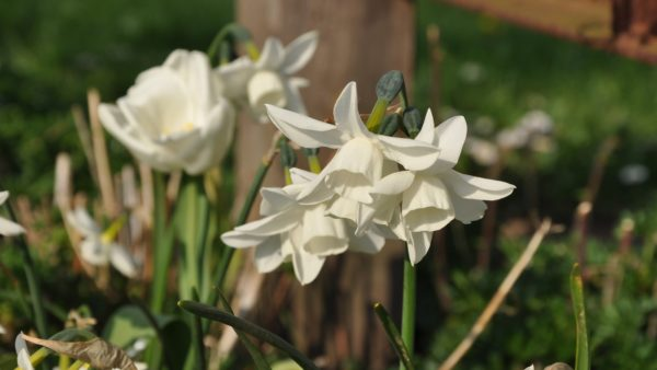 Narcissus 'Starlight Sensation'