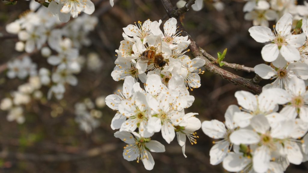 Honningbi i tjørn