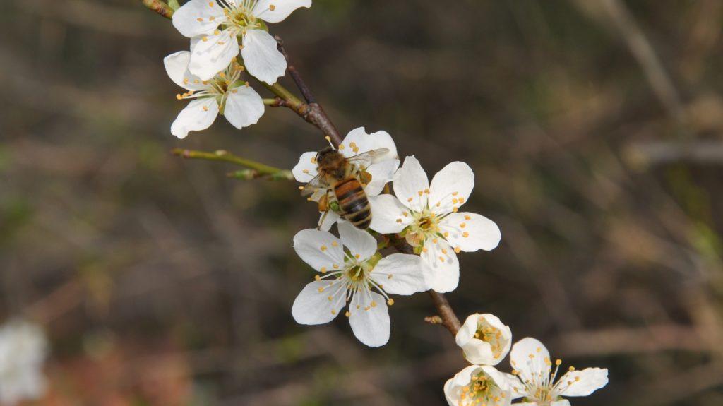 Honningbi med pollenbukser