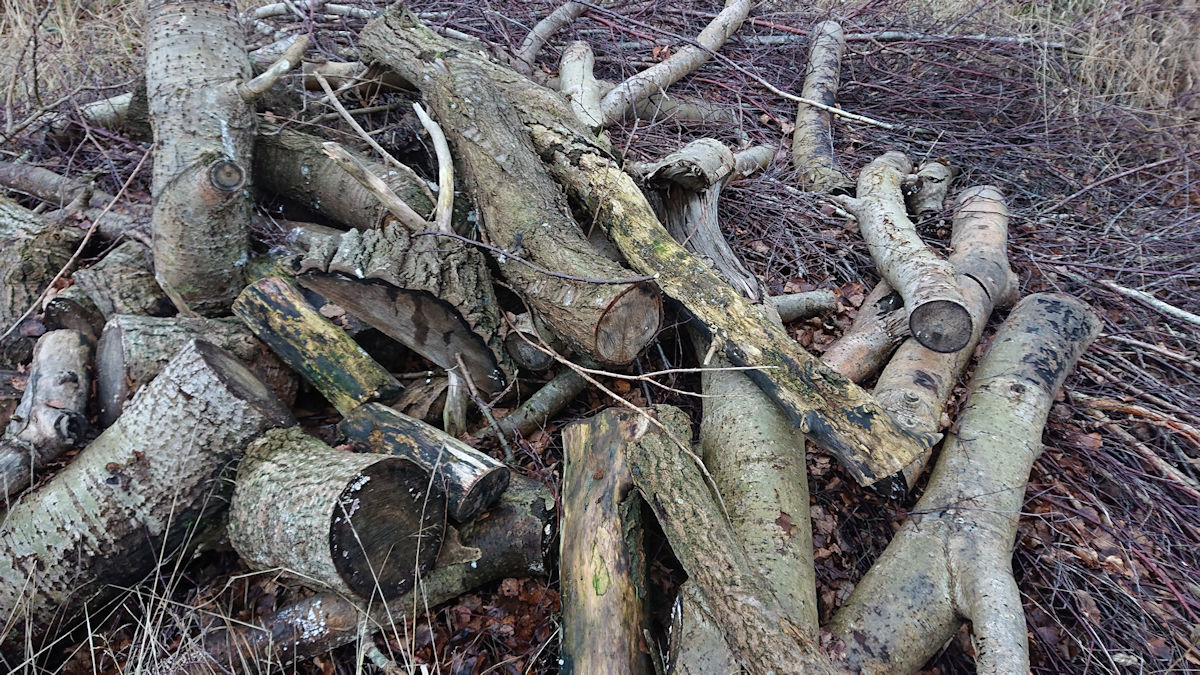 Poppel stammer oven på tynde birkegrene
