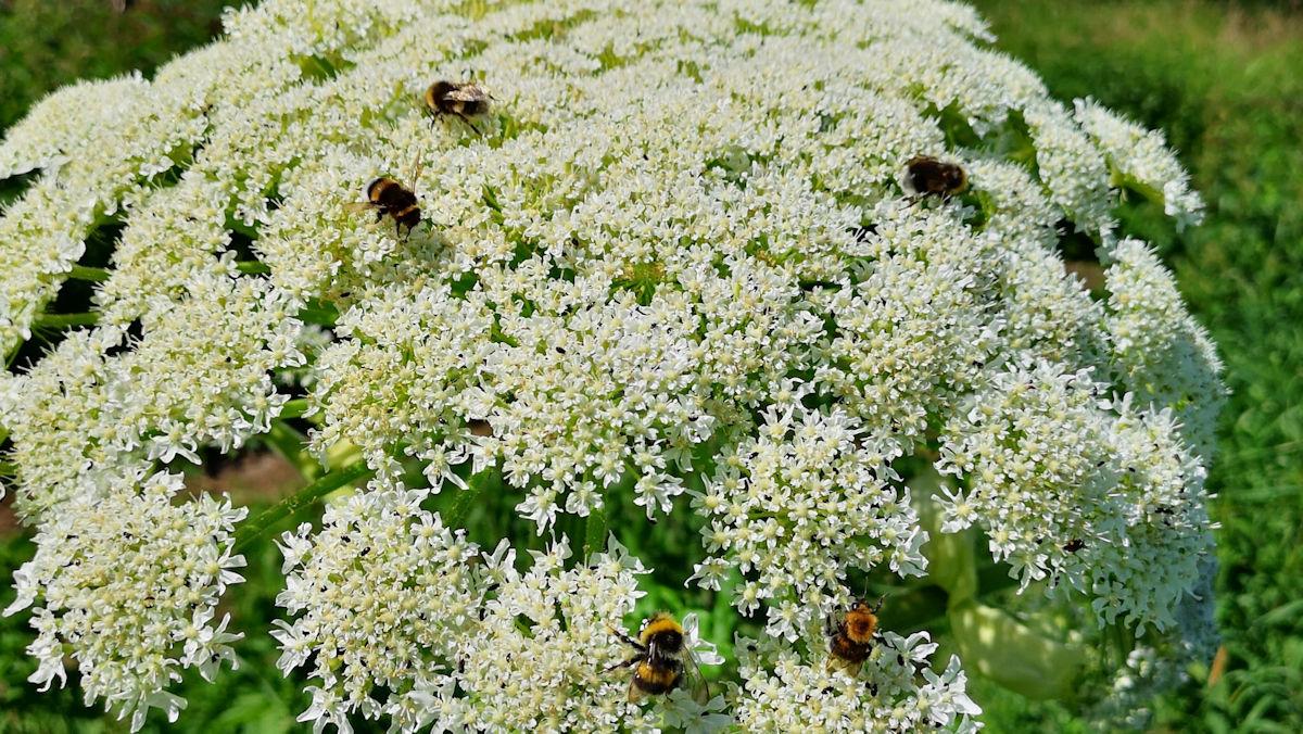 Bjørneklo og bier